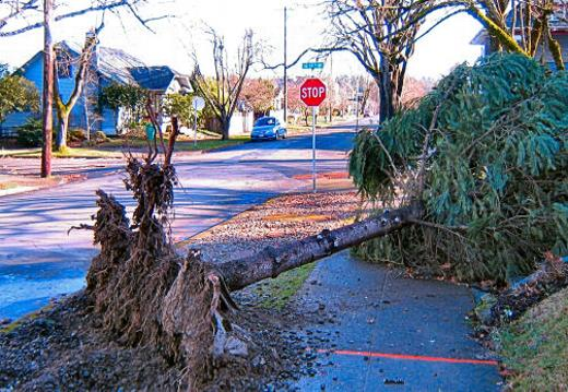 After the first big storm of 2021 blew through, the high winds on the night of January 12 found trees and wires down in the area from the strong gusts. This small tree blew down across the sidewalk on S.E. Claybourne Street near 19th Avenue in Westmoreland.